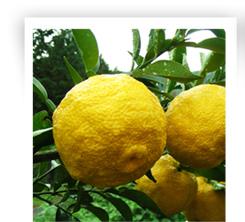 tout savoir sur le citrus yunos yuzu, le fameux citron du Japon très résistant au froid.
