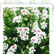 Pelargonium 'Mrs G.H. Smith' Ce Pelargonium décorait de superbes propriétés dans le sud est de la France, ainsi qu'en Italie.