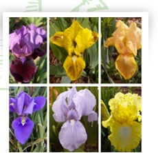 Des iris qui fleurissent toute l'année
